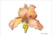 Iris 3 - 8x10 White