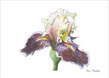 Iris 4 - 8x10 White