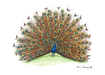 PP - Peacock