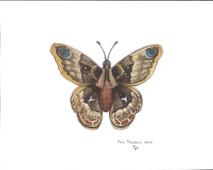 PP - Wood Moth - Blue Eyes