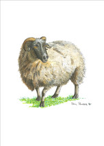 PP - Sheep - Hermitage Golf Course
