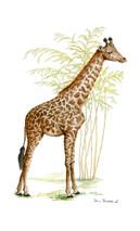 Nashville Zoo Giraffe