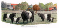 Belted Galloways at The Hermitage