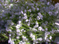 Gypsophilia Spray X 216 Assorted Colors
