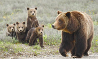 Grizzly Bear and Cubs - Premium Diamond Painting - Round - 50x70 - Free Shipping
