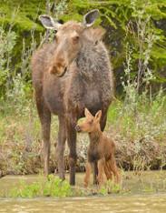 Moose with Baby - Premium Diamond Painting - Round - 50x70 - Free Shipping