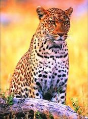 Leopard at Sunset - Premium Diamond Painting - Square - 50x70 - Free Shipping
