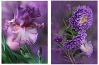Purple Iris and Dahlia - Pair (2) Premium Diamond Paintings - Square - 30x40 each - Free Shipping