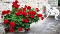 Red Geraniums - Premium Diamond Painting - Round - 55x70 - Free Shipping