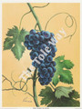 Purple Grapes by Reina (4x5)