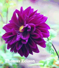 T-4  Thomas Edison  B/FD/Pur This flower has better form than this picture shows, it more represents the correct color.