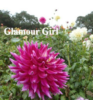 G-20 Glamour Girl  B/SC/Pur