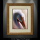 """Framed fine art prints"" of White Pelican by artist Jason Mathias, a stunning White Pelican painting depicted in it's spectacular natural beauty using Acrylic on board."