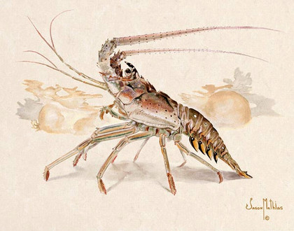 In this vision, skilled artist Jason Mathias masterfully portrays a Spiny Lobster cautiously marching across the sea floor with a lightly suggested reef in the background.