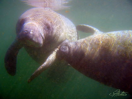 """Image: This image of of two Manatees was captured by renowned artist Jason Mathias while freediving in the winter months at beautiful Crystal Springs FL. Image size: This fine art metal print comes in a """"16x24"""" size, it also come with a mount on the back for easy and immediate hang-ability. Process: We take Jason Mathias's underwater photography and sublimate them right into the surface of a solid sheet of aluminum metal for beautiful sleek look and supreme durability for a piece of fine art. Our unique process produces vibrent, iridescent and bright vivid colors that can be enjoyed inside our outside of your home or office."""