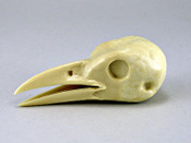 Study Bill - Crow - o/m