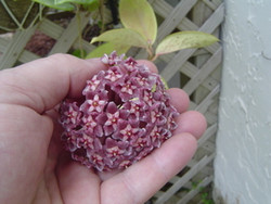 Hoya Pubicalyx cv Rosey