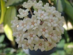 Hoya Verticillata Albomarginata
