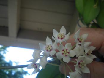 Hoya Australis ssp Australis Brookfield. Easy to grow fast bloomer great for the beginner.