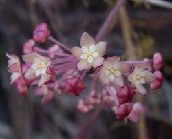 Hoya Tjadasmalangensis iml 1181