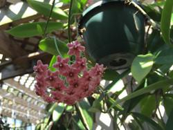 Hoya Publicalyx Pink dragon