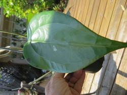 Hoya sp Vietnam