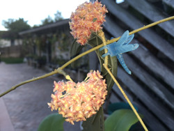 Hoya Mindorensis Pink