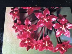 Hoya Scortechinii