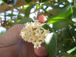 Hoya Bhutanica iml 0224