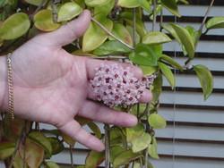 Hoya Carnosa variegated