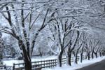 Photo - Snow Trees