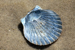 Clam Shell - Blue