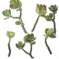 6-Pack of Jade Succulent Plant Cuttings - Easy to Root Q280-JADECU688