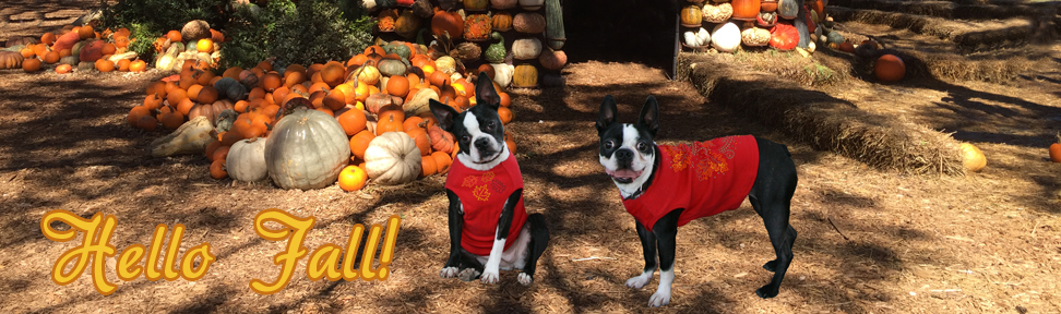 fall-thanksgiving-boston-terriers-.jpg