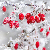 Lunch napkins -Berries on ice