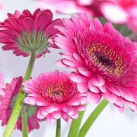 "Lunch Napkins - Fuchsia flowers 6.5""x6.5"""