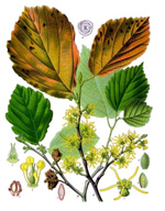 226452-ingredients-witchhazel.jpg