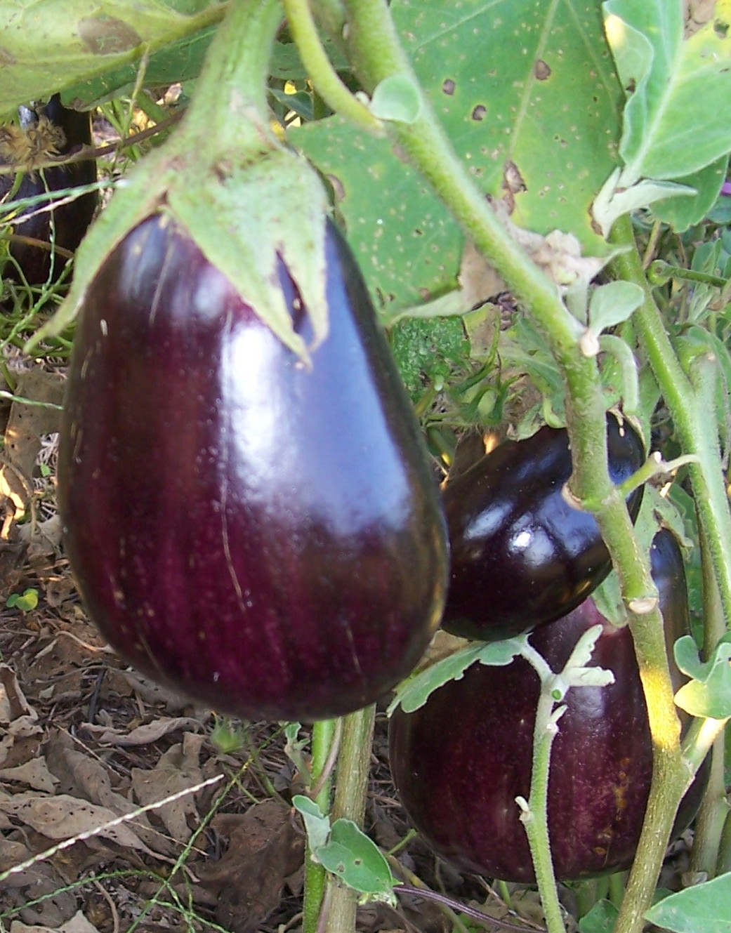 black-beauty-eggplant2.jpg