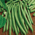 Bush Bean Harvester Seed