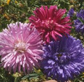 (Callistephus Chinensis) Aster Crego Seed Mix