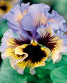 Pansy Frizzle Sizzle Yellow Blue Swirl - Jumbo 6 Pack