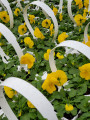 Pansy Cool Wave Yellow Golden- Jumbo 6 Pack
