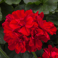 "Zonal Geranium 'Moxie Dark Red' 6"" Pot"