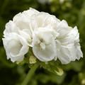 """Zonal Geranium 'Moxie White' 6"""" Pot"""