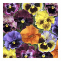 Pansy Frizzle Sizzle Mixed - Jumbo 6 Pack