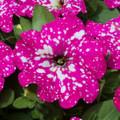 """Petunia 'Pink Sky' 6""""pot"""