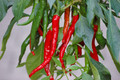 Hot Pepper Cayenne Long slim 2 pack