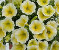 "Petunia 'Ray Sunshine' 6""pot"
