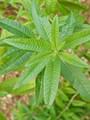 """Lemon Verbena 5"""" Pot"""