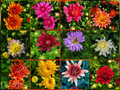 """8"""" Pot Mum or Aster 5 for $28.00"""